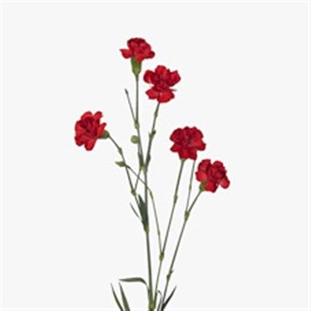Carnation Tr Red